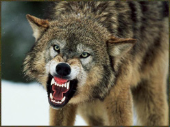 "The image ""http://www.log24.com/log/pix04B/041024-wolf.jpg"" cannot be displayed, because it contains errors."
