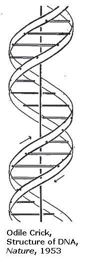 Odile Crick, drawing of DNA structure in the journal Nature, 1953