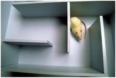 Rat in maze